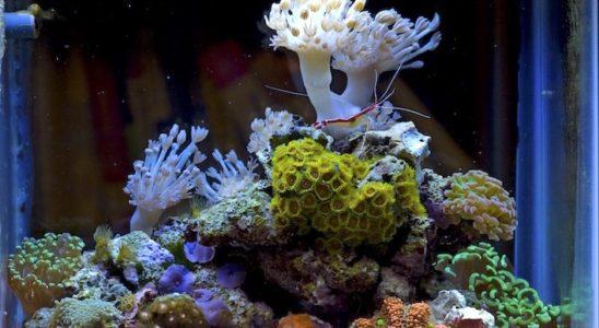 Le pico-récif est la version miniature du nano-récif. Photo : Sandeep Singh Brar