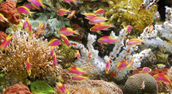 L'harmonie des formes et des couleurs, mais aussi celles des comportements, s'est composée au fil des millénaires. Les rares et splendides Pseudanthias ventralis de cet aquarium résument les surpreant contrastes que la nature à mis en oeuvre. Photo : Aqua Press