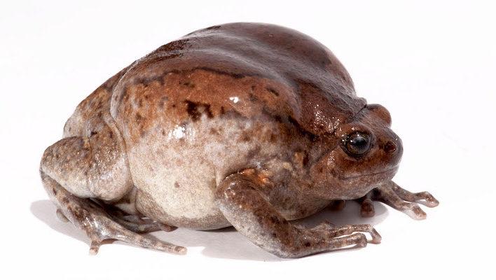Kaloula pulchra est une grenouille à la morphologie très ronde. Photo : T. Leenders