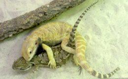 Les hybridations que l'on n'observe jamais dans la nature sont possibles en captivité. Ici un mâle P. vitticeps s'accouple avec une femelle P. henrylawsoni. Photo : Olivier Lajoie