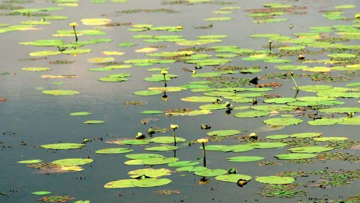 Bien qu'on les remarque depuis la surface de l'eau, les nénuphars, à l'instar du nénuphar jaune (Nuphar lutea), sont d'authentiques plantes aquatiques, que l'on nomme hydrogéophytes. C'est-à-dire qu'elles poussent au fond de l'eau ! Seules leurs feuilles et leurs fleurs vont alors émerger, selon les saisons.
