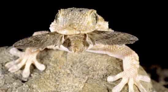 Les geckos européens sont des prédateurs nocturnes. Cette tarente de Maurétanie vient de capturer un papillon de nuit. Photo : J.-M. Prévot – Colibri.