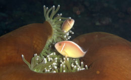 Un couple d'Amphiprion akallopisos dans une anémone Heteractis magnifica. Photo : Vince