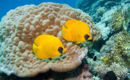 Chaetodon semilarvatus consomme principalement des polypes coralliens. Il est possible de l'acclimater très progressivement à une alimentation de substitution. Photo : Armin Völler