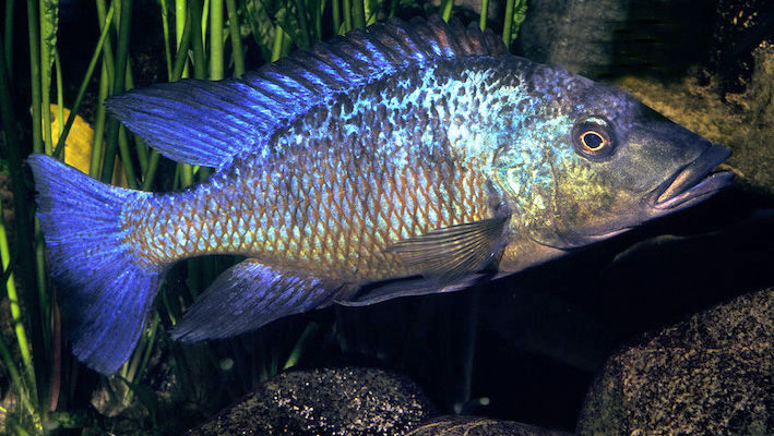 Ce mâle est âgé de presque 4 ans. La coloration rougeâtre des écailles ventrales deviendra bleu-vert au fil des années. Une particularité parmi les « haplos » : l'anale ne présente pas d'ocelles, ou à peine visibles chez certains individus. Photo : Aqua Press