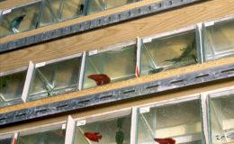 Les betta splendens males peuvent être conservé dans des petits aquariums comme cette batterie d'élevage destiné à faire de la sélection.. Photo : Aqua Press