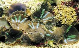 Les Discosoma spp. sont des hôtes fréquents de l'aquarium récifal. Les couleurs et les tailles, ainsi que les capacités d'adaptation en aquarium, sont extrêmement variées. Photo : Aqua Press