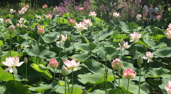 Le lotus sacré (Nelumbo nucifera) est initialement originaire de la Caspienne jusqu'au sud de l'Asie et le nord de l'Australie. Il a ensuite été disséminé dans de nombreuses zones tropicales et subtropicales. Il nécessite cependant un hivernage en intérieur sous nos latitudes. Photo : Aqua Press (Court d'Aron)