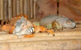 Le choix d'un couple de reproducteurs est assez facile lorsque le dimorphisme sexuel est bien marqué comme chez l'iguane vert. Photo : G. Allain.