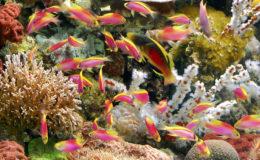 Cirrhilabrus scottorum dans un banc d'Anthias ventralis : un mélange de couleurs détonnant ! Photo : Aqua Press