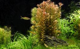 La maîtrise de la concentration des nitrates dans un biotope dulçaquicole contribue à l'équilibre écologique entre les plantes supérieures et les algues. Photo : Aqua Press – Aquarius 42