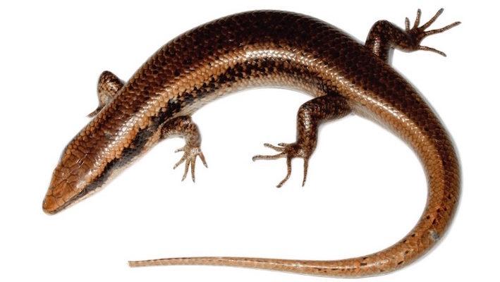 Mabuya parviterrae sp., nouvelle espèce de Scinque décrite en Guadeloupe. Photo : Hedges, Lorvelec, Barré, Berchel, Combot, Vidal et Pavis
