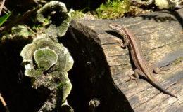 Dans la nature, les reptiles diurnes passent une grande partie de leur temps à se thermoréguler (ici un lézard des murailles, Podarcis muralis). Le lézard en héliothermie est aux aguets, car il est exposé aux prédateurs. Photo : V. Noël.