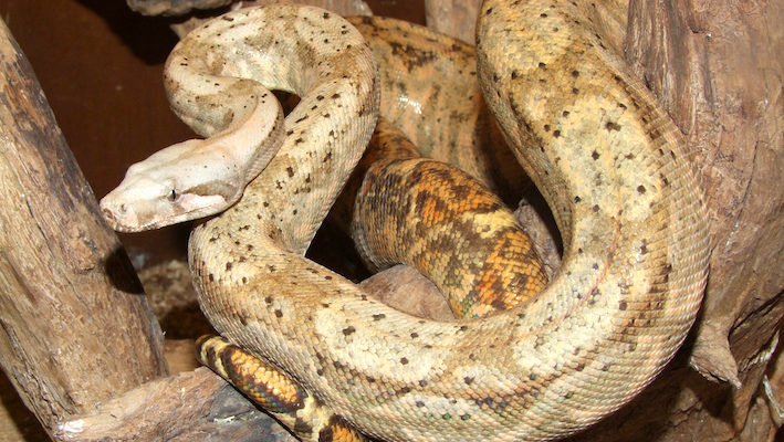 Boa constrictor imperator « Hog Island ». Photo: Vincent Noël