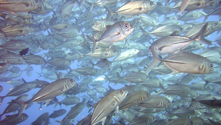 Les courants marins sont vitaux pour tous les organismes, y compris les carnassiers pélagiques comme ces superbes Caranx sexfasciatus. Ce qui est indispensable dans le milieu naturel l'est également pour l'aquarium. Photo : Vince