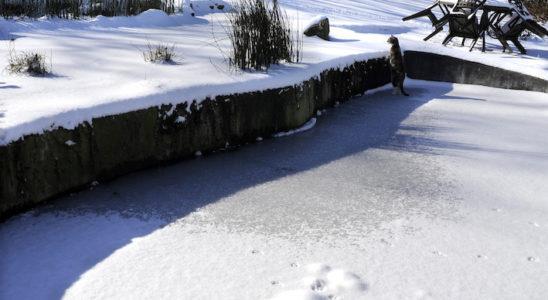 La neige étend son blanc manteau sur les paysages, bassin de jardin compris ! Sous son apparente tranquillité, la vie continue pourtant, dans les alentours et même sous la glace… Photo : Aqua Press