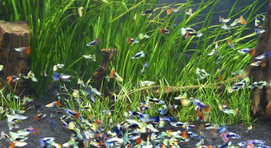 Ces guppies bigarrés ne ressemblent plus guère au petit vivipare qui vit dans les eaux du Nord de l'Amérique du Sud. Pourtant tous descendent du petit guppy sauvage à la livrée orange tachée de noir et de vert ; ils sont la preuve vivante de l'incroyable variabilité génétique de l'espèce. Photo : Aqua Press