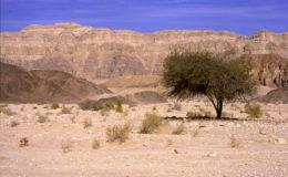 Le Néguev est un désert caillouteux, il n'y pousse que de rares acacias.