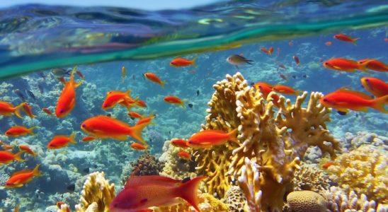 De multiples expériences démontrent toutes que la calcification des coraux ralentit lorsque la pression partielle de CO2 augmente. Souhaitons que cette évolution soit réversible afin de préserver les paysages récifaux. Photo : Tunatura