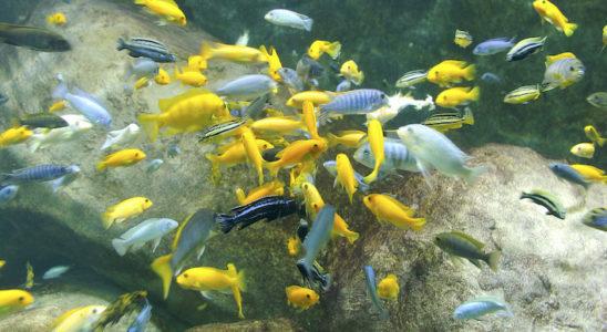 Un bel ensemble Malawi et ses centaines de m'bunas ou « frappeur de pierre » qui couvre plusieurs genres comme les Labidochromis, Labeotropheus, Melanochromis, etc. … Photo : Aqua Press
