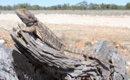 Pogona vitticeps se tient souvent sur un promontoire d'où il peut surveiller son territoire alentour, ici près de Quilpie (Queensland). Photo : T. Charlton.
