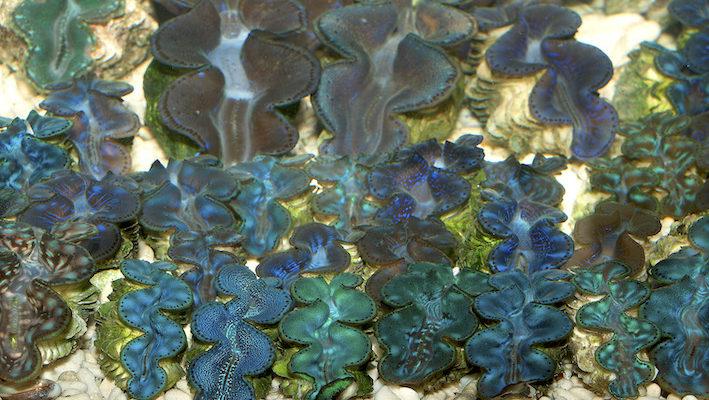 L'observation par le dessus est la plus favorable pour admirer le manteau brillamment coloré des bénitiers. Photo : Aqua Press
