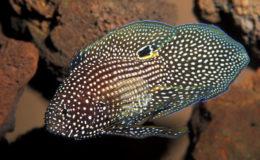Évidemment magnifique, Calloplesiops altivelis est aussi un poisson résistant en aquarium. Il est discret et apprécie la pénombre des ambiances calmes, généreusement agrémentées de surplombs et d'anfractuosités. Photo : Aqua Press