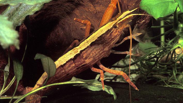 Atyopsis molluccensis, alias la crevette balais, est certainement la plus populaire des crevettes filtreuses. Photo : Aqua Press