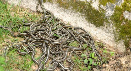 Certains serpents hibernent en groupe nombreux et sortent tous ensemble de leur abri au printemps. Ce phénomène donne lieu à des scènes un peu étranges comme celle offerte par ces Thamnophis sirtalis parietalis. Photo : D. Fang