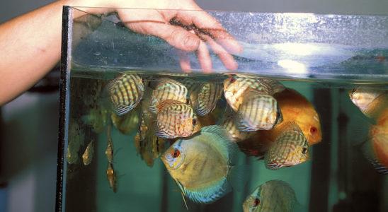Des discus en bonne santé, qui viennent notamment réclamer leur nourriture, sont le meilleur gage de réussite. Dès l'achat, tout poisson présentant des anomalies est écarté. Pour compléter, une quarantaine est obligatoire. Photo : Aqua Press
