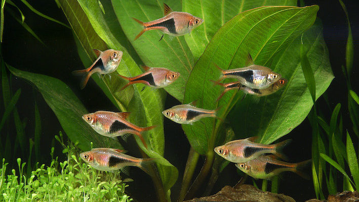 L'arlequin (Trigonostigma heteromorpha) est un poisson grégaire qui requiert une maintenance d'au moins 4 ou 5 individus de son espèce. Sans quoi, il a tendance à s'effaroucher et à rester caché. Photo : Aqua Press