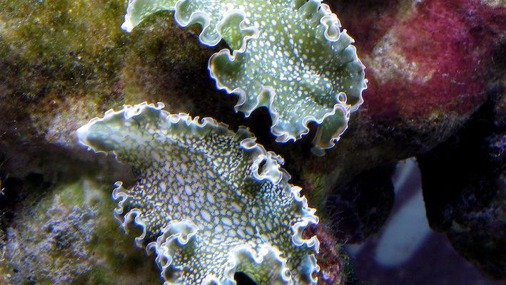 Elysia clarki est parfois confondu avec Elysia crispata, dont les parapodes latéraux fusionnent. Elysia clarki est herbivore : il se nourrit de jeunes individus d'Halimeda incrassata et surtout de Penicillus capitatus. Photo : Jean-Louis Cuquemelle