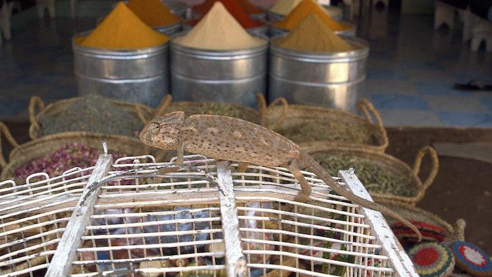 Caméléon (Chamaeleo chamaeleon) est en vente dans un souk de Marrakech. Les touristes se laissent trop souvent tenter par le prix ridiculement bas demandé par le vendeur. Malheureusement, ce ne sont généralement pas des terrariophiles et ils n'ont aucune idée des conditions d'élevage de l'animal qui périra au bout de quelques semaines. Photo : M.-P. & C. Piednoir