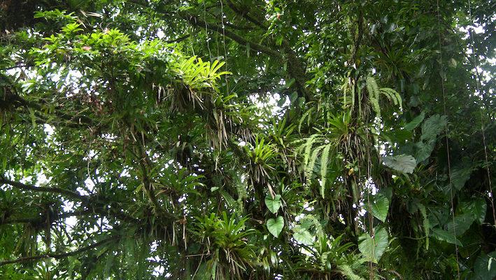 Sous les frondaisons pullulent les épiphytes.