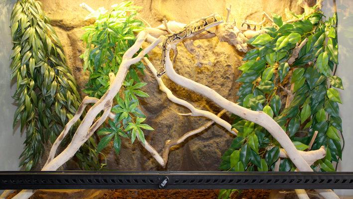 Ce terrarium aménagé simplement est adapté à l'accueil d'un python royal.