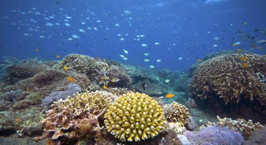 Les zooxanthelles ou comment un organisme microscopique contribue au développement de la plus grande structure biogène sur la planète : l'algue unicellulaire est la clé de voute des récifs coralliens du monde ! Photo : Vince