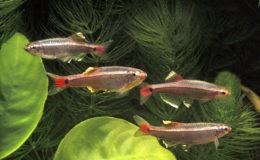 À condition de se satisfaire d'un petit groupe, il est tout à fait possible de maintenir des vairons de Chine (Tanichthys albonubes) dans un aquaterrarium doté d'une filtration naturelle. Photo : Aqua Press
