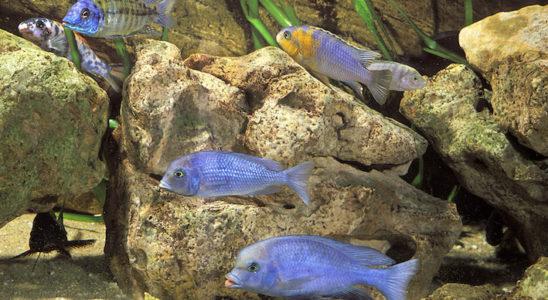 Un sable clair met bien en valeur les couleurs de certains Cichlidés des grands lacs africains, à l'instar de ces Cyrtocara moorii, Copadichromis borleyi et autres Sciaenochromis fryeri. Un sable fin à base de pouzzolane, rougeâtre, peut aussi convenir dans ce cas précis. Photo : Aqua Press