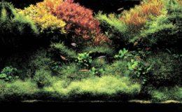 Avec une telle abondance de plantes à tiges et « gazonnantes », certaines substances nutritives peuvent rapidement être amenées à manquer. Une fertilisation liquide quotidienne s'avère nécessaire. Photo : Takashi Amano