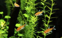 Avec une taille inférieure à 4 cm, Axelrodia riesei peut intégrer le nano aquarium, si le volume est de 15 litres, voire plus. Photo : Aqua Press