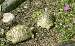 Des tortues d'Hermann dans la zone dégagée du parc. Photo : G. Allain