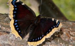 Le morio (Nymphalis antiopa) est l'un des premiers papillons à apparaître au printemps. Hélas, il devient de plus en plus rare. Photo : Olivier Buisson