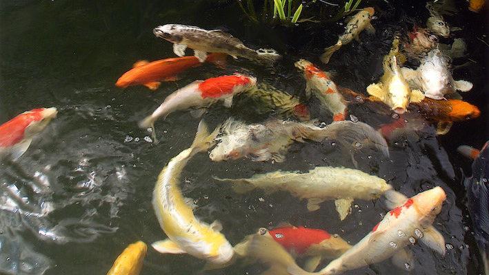Grâce à leur taille imposante et leurs couleurs variées, les carpes koï (Cyprinus carpio var.) animent efficacement le bassin. Il est impossible de les rater ! Photo : Aqua Press (Oasis Auxerre)