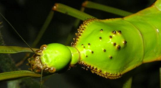 Gros plan de la tête et du thorax d'une femelle.