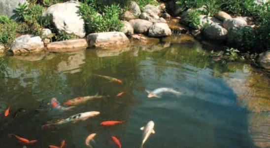 Les poissons sortent enfin après un long hiver ! C'est une excellente nouvelle, mais il faut encore rester patient : l'arrivée des premiers beaux jours ne signifie pas pour autant que le printemps s'est définitivement installé. C'est donc lentement et très progressivement que l'on va commencer à nourrir à nouveau.