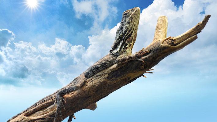 Les reptiles ont besoin de lumière pour voir et adapter leur comportement à leur environnement. Elle leur est également nécessaire à la régulation de bien des métabolismes. Photo : Kagenmi