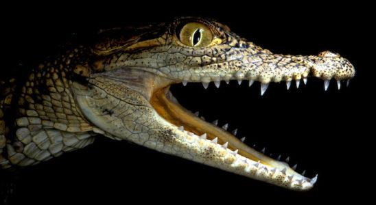 Michel Minlinkovitch et ses collègues ont remarqué que les écailles de la face et de la mâchoire des crocodiles avaient une forme et une distribution très irrégulières. Photo : M. Milinkovitch & A. Debry