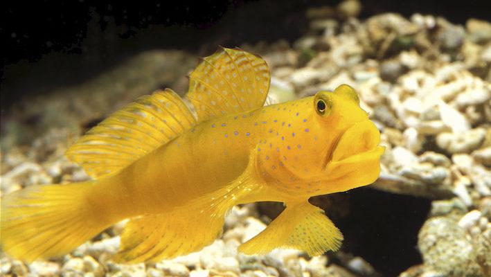 Cryptocentrus cinctus est un classique parmi les gobies symbiotiques. Il est courant de le rencontrer en aquarium en compagnie de divers Alpheus spp.