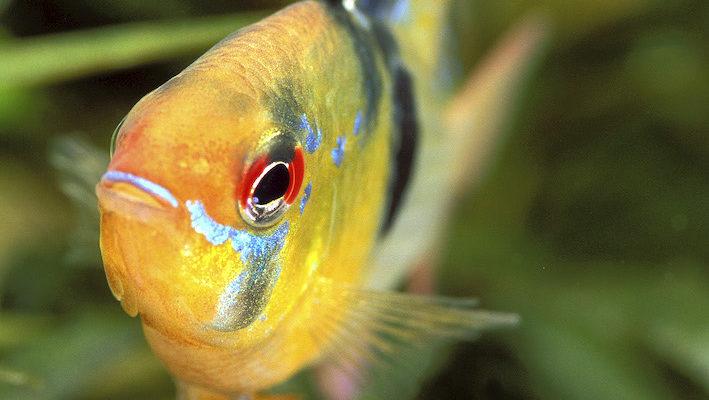 Le mâle Mikrogeophagus ramirezi se distingue par des premiers rayons de la dorsale particulièrement développés.