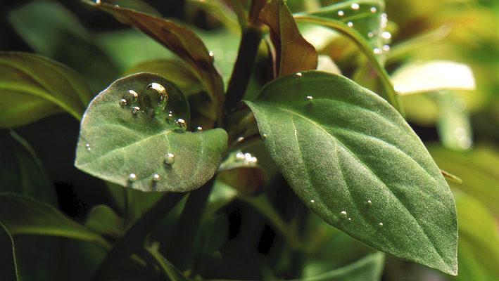 Durant la journée, les plantes aquatiques effectuant la photosynthèse relâchent de minuscules bulles d'oxygène. Les espèces grandes productrices de ce gaz si utile à la vie du bassin sont dites « plantes oxygénantes ». Photo : Aqua Press